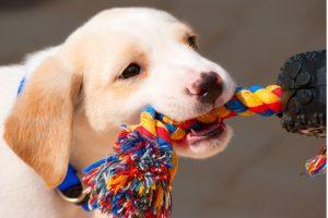 CVAH Puppy Preschool